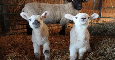 Sparsholt Lambing Weekend