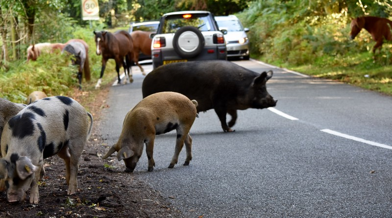 Animals on the road in the New Forest