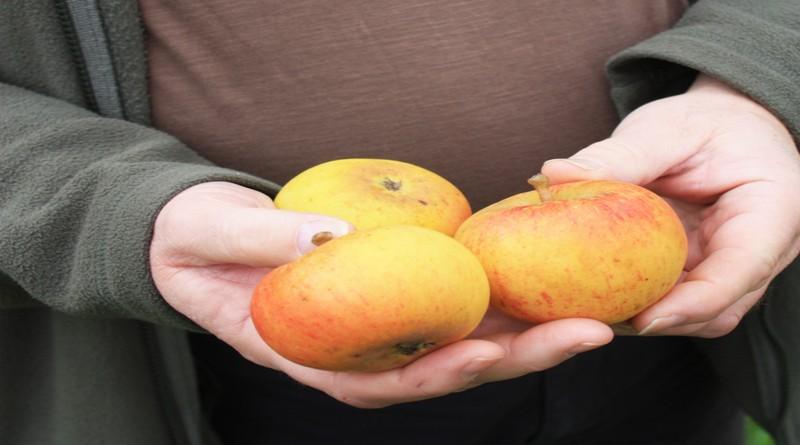 steyne-seedling-apples