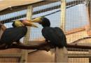 Wrinkled Hornbills Meet Their Match!