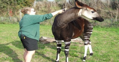 Keeper Zoe Newnham with Okapi Daphne.