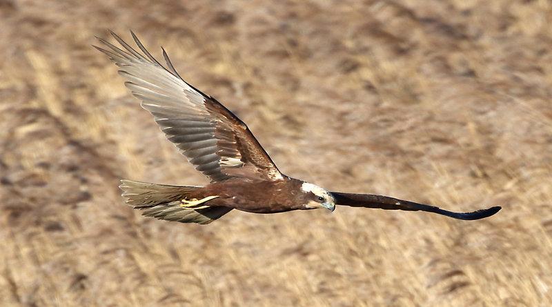 Titchfield_-_wildlife_-_birds_-marsh_harrier_ok3_credit_peter_gasser