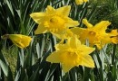 Pick a daffodil for Friends of the Family