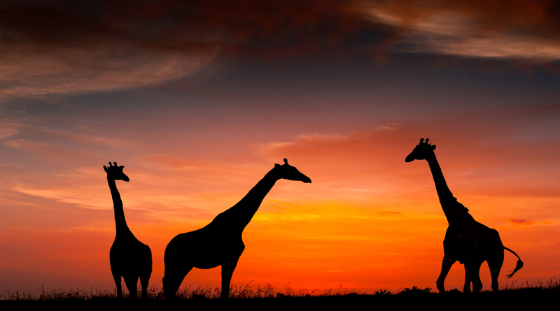 Staff Photography - Giraffes in the sunset