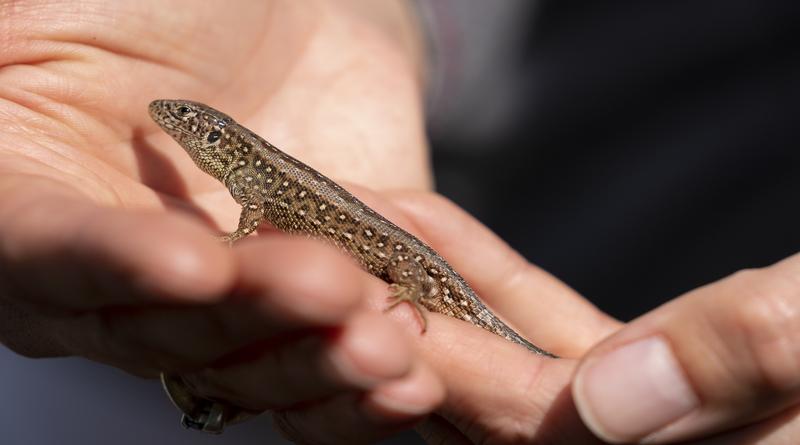Sand lizard close up