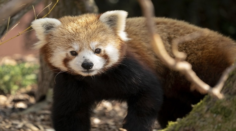 Red Panda called Peter