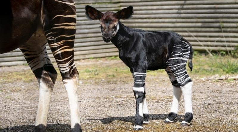 Marwell Zoo welcomes an endangered okapi calf