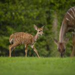 Photo Credit Jason Brown - Kudu Calf