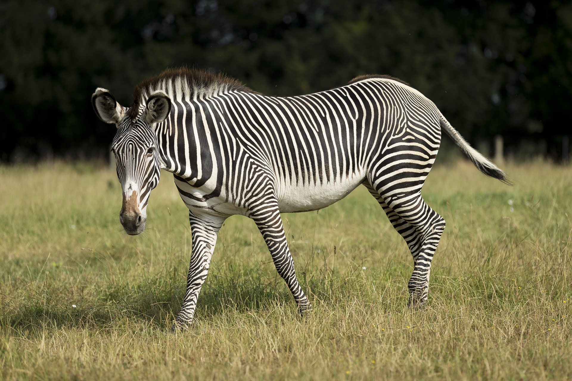 A healthy Grevy's zebra at Marwell Zoo