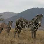 Grevy's zebra adult and young