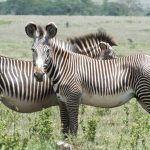 Healthy Grevy's Zebra in Kenya