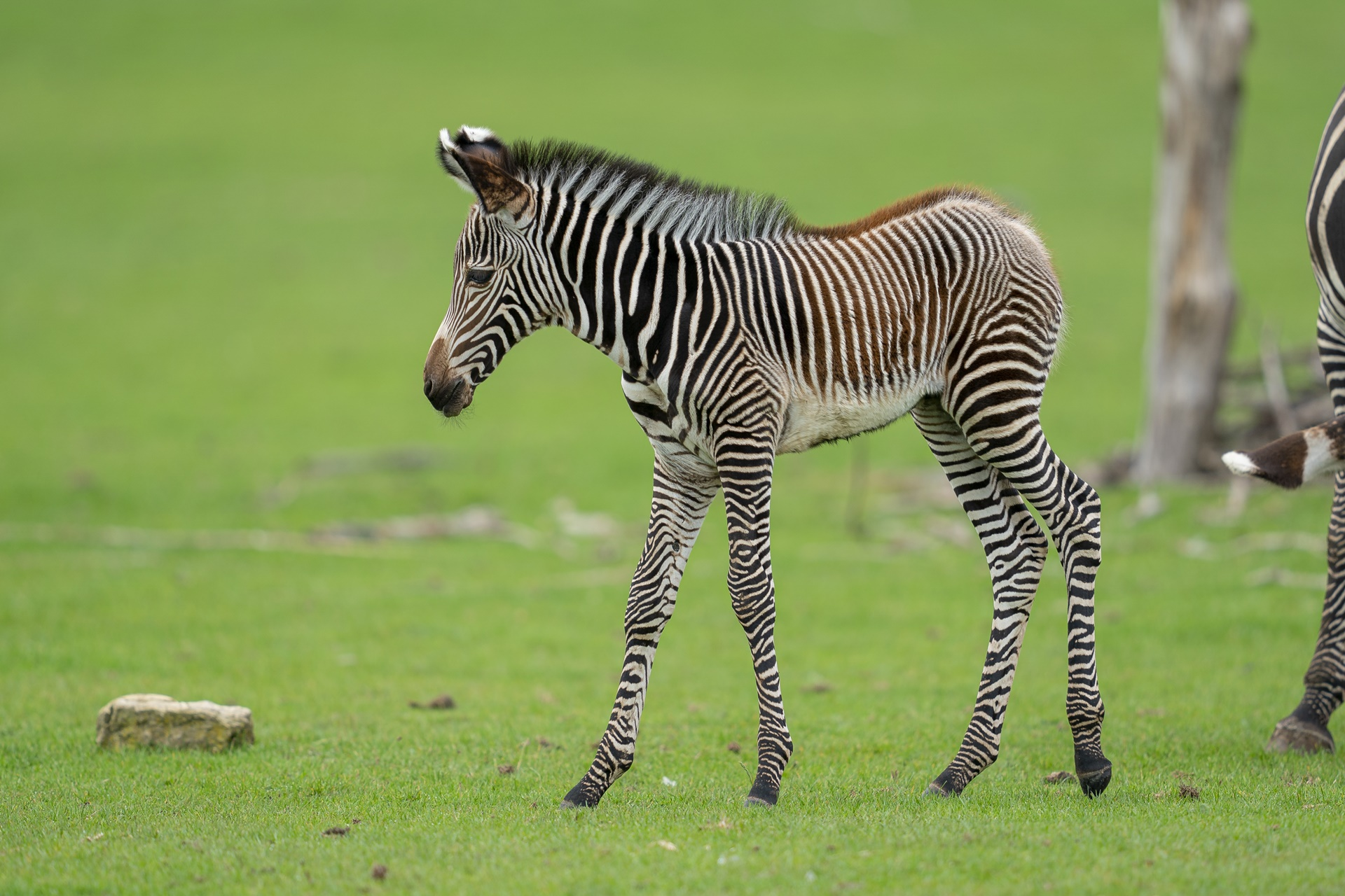 Credit Marwell Wildlife - Grevy's foal, first day in field