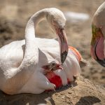Credit Marwell Zoo - Greater Flamingo Chick