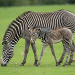 Credit Marwell Zoo - Grevy's Zebra Foal