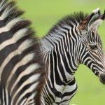 Credit Marwell Zoo - Grevy's zebra foal 2