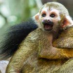Credit Marwell Zoo - Guianan Squirrel Monkey Baby