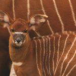 Credit Marwell Zoo - Mountain Bongo calf