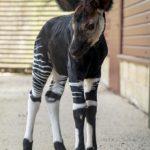 Credit Marwell Zoo - Okapi Calf