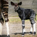 Credit Marwell Zoo - Okapi calf 2