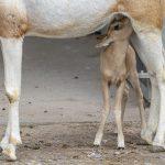 Credit Marwell Zoo - Scimitar-Horned Oryx Calf