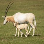 Credit Marwell Zoo - Scimitar-horned oryx calf 2