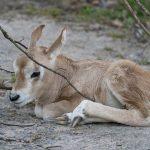 Credit Marwell Zoo - Scimitar-Horned Oryx Calf 1