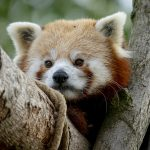 Credit Marwell Zoo - new male Red Panda - Peter