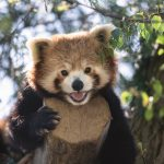 Credit Marwell Zoo - new male red panda - Peter 2
