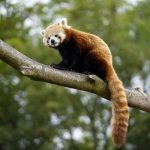 Credit Marwell Zoo - new male red panda - Peter 3