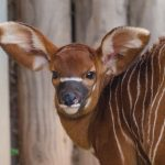 Credit PhotosByGemma - Mountain Bongo calf