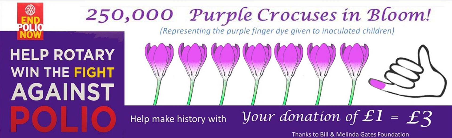 250,000 Crocuses in Bloom