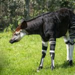 Marwell Zoo - Niari the okapi calf