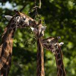 Marwell Zoo - Rothschild's giraffes