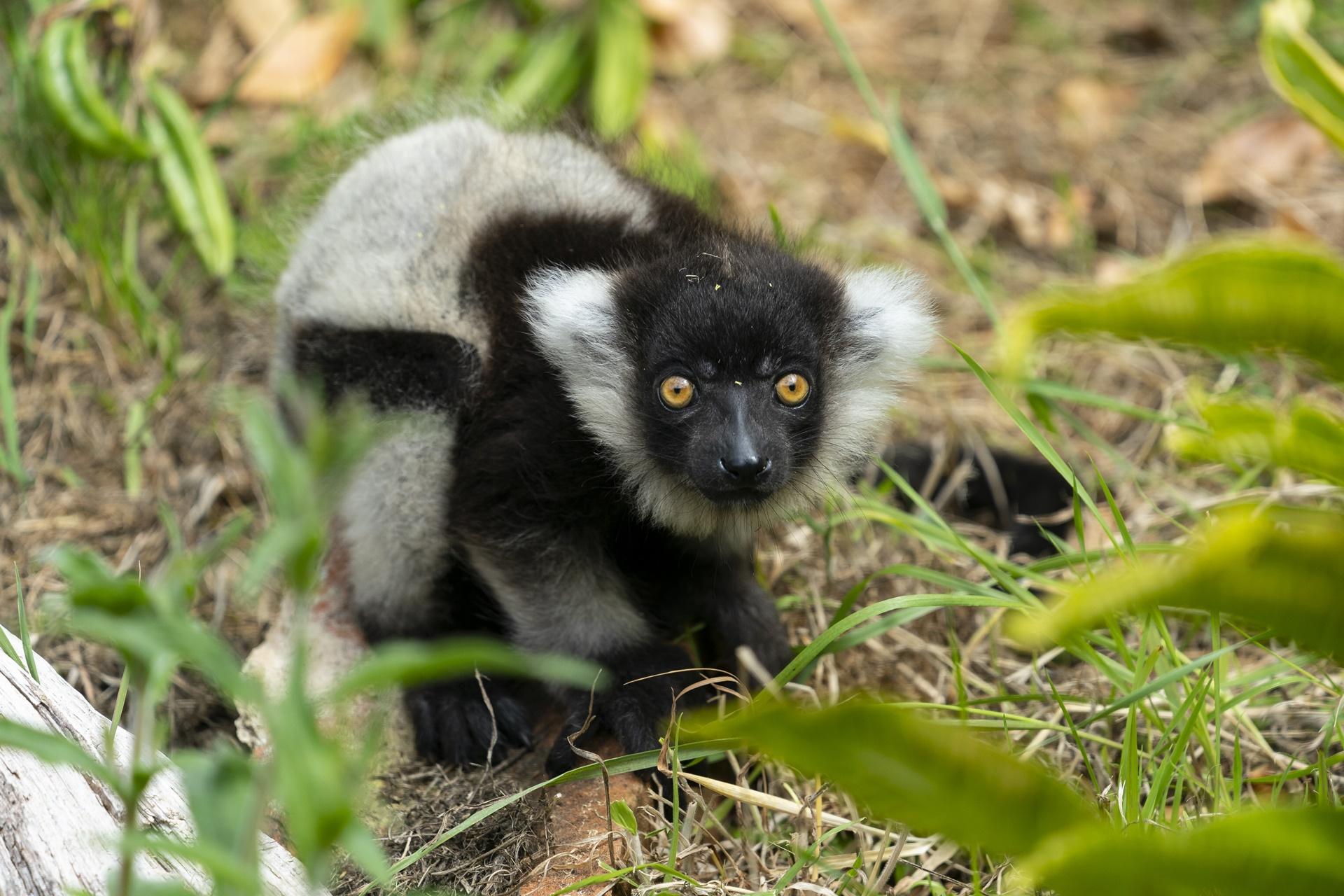 Black-and-white-ruffed-lemur-