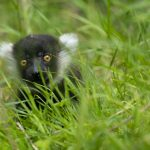 Black-and-white-ruffed-lemur-1