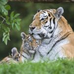 Marwell Zoo - Amur tiger Milla and cubs