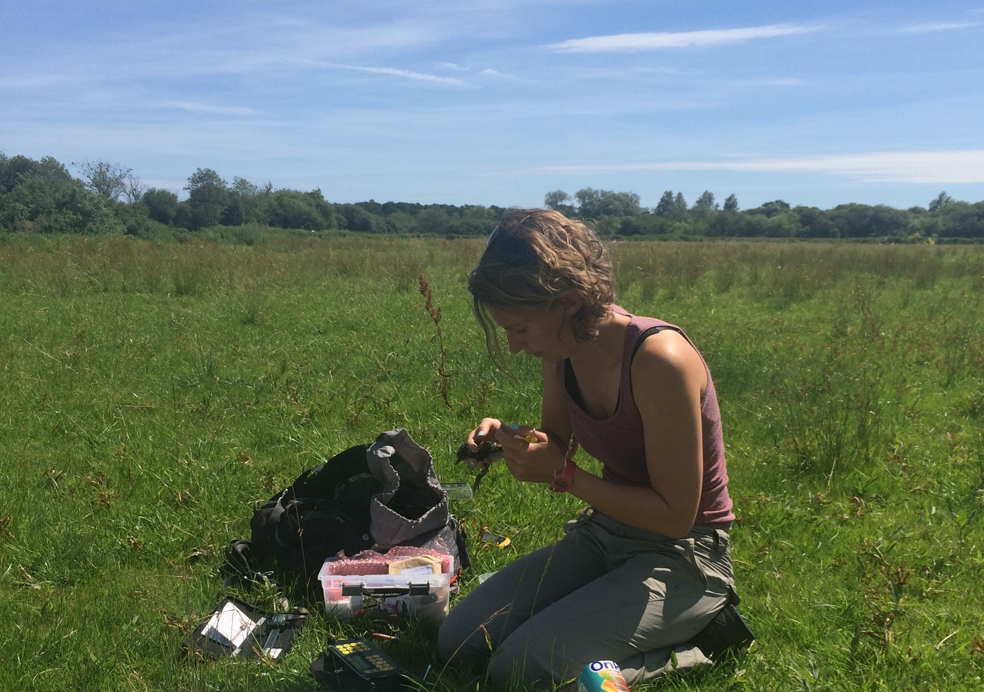 ringing a lapwing chick