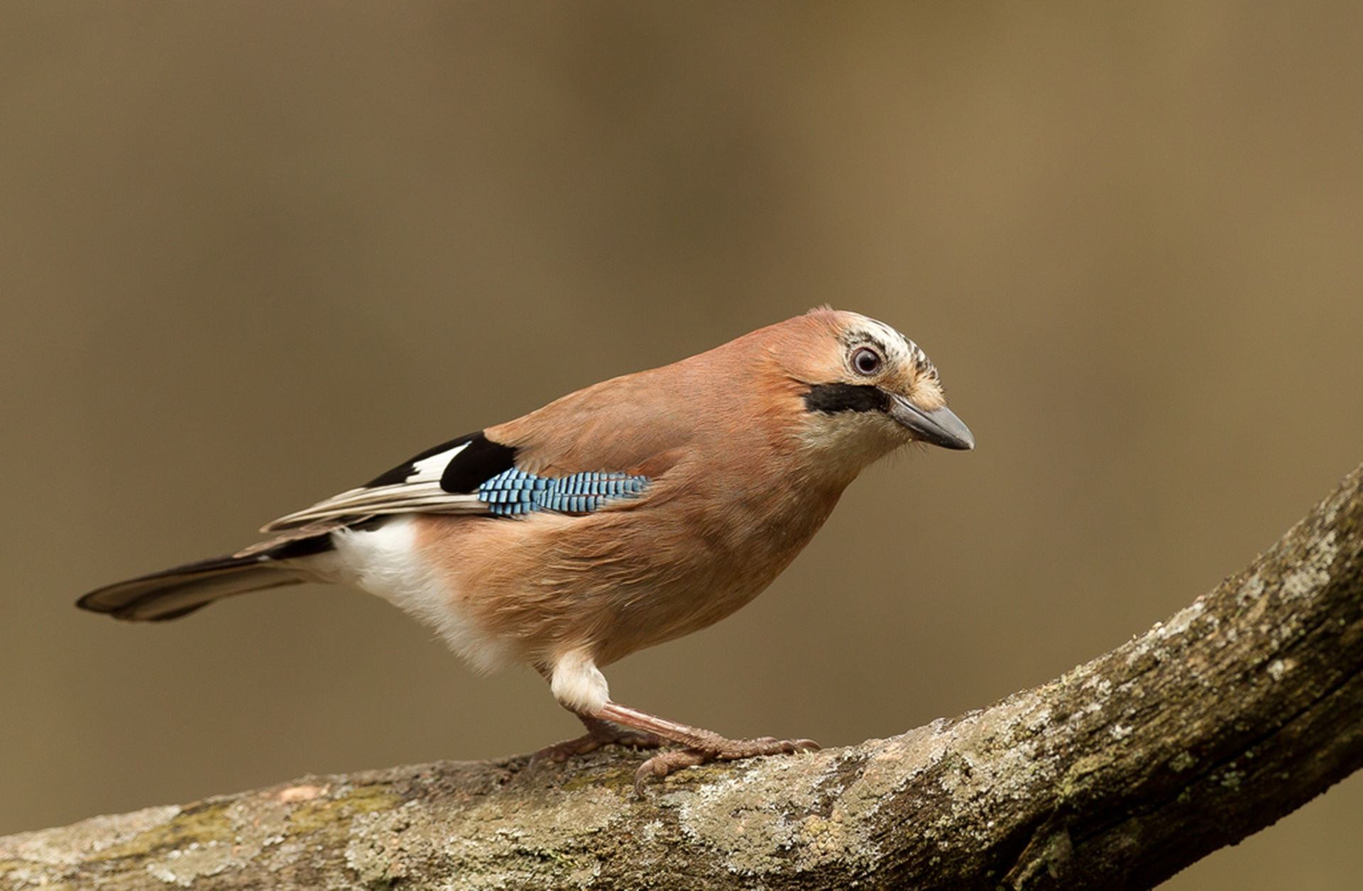 Jay on a branch Credit David Williams